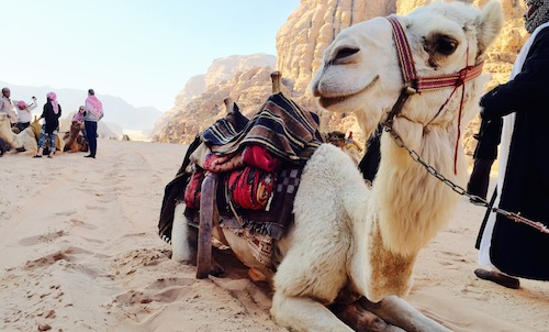 picture of camel