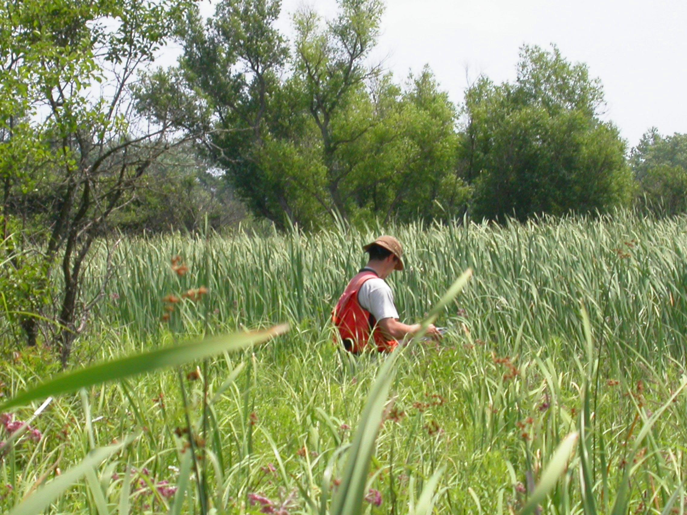 Spyreas working in marsh