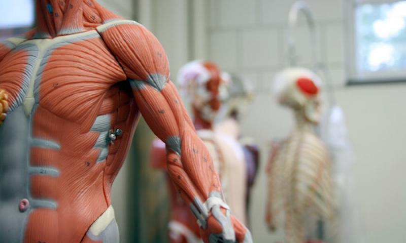 muscles in the body mannequin