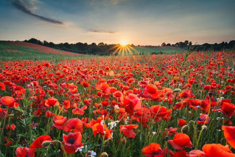 image of sun rising over a field of red flowers