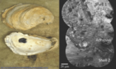 Oyster cement image