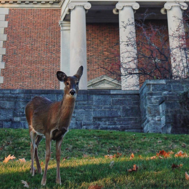 A deer stands in front of Chapel Walk and Swasey Chapel