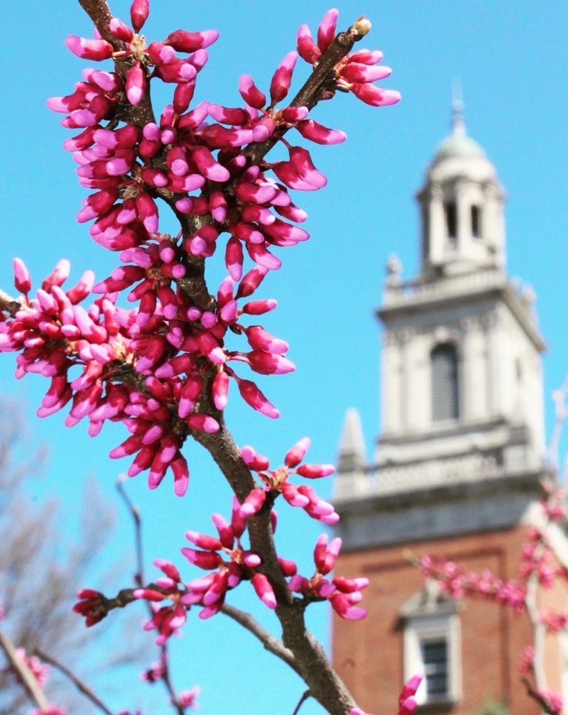 A redbud tree blooms in front of Swasey Chapl in the spring